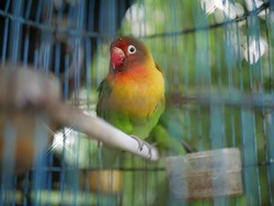 The love bird is one of the nine species of the genus Agapornis. They are small birds, between 13 and 17 cm, weighing 40 to 60 grams, and are social. Eight of these species are native to Africa