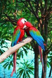 The macore bird