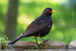 The male blackbird (Turdus merula) stands on stone with grass by the bird's waterhole. Czechia. Europe.
