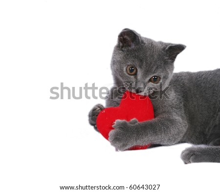 The nice British cat holds red heart on a white background - stock photo
