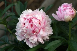 The old peony variety is fresh and beautiful in the garden.
