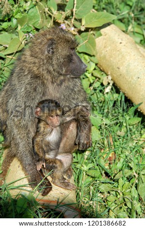 The olive baboon is a baboon in the family of Old World monkeys. Also called the Anubis baboon. The olive baboon is the most wide-ranging of all baboons.