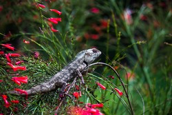 The oriental garden lizard, eastern garden lizard, bloodsucker or changeable lizard (Calotes versicolor) is an agamid lizard found widely distributed in in indo-Malaya.  It has also been introduced.