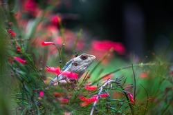 The oriental garden lizard, eastern garden lizard, bloodsucker or changeable lizard (Calotes versicolor) is an agamid lizard found widely distributed in in indo-Malaya.