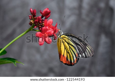 The Painted Jezebel (Delias hyparete) she ests syrup on red flower, Thailand