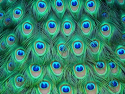 The peacock is considered a bird of protection and safeguarding.