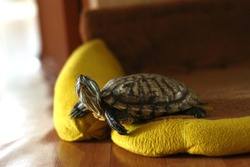 The pet the red-eared turtle has a rest in the room on a yellow pillow.