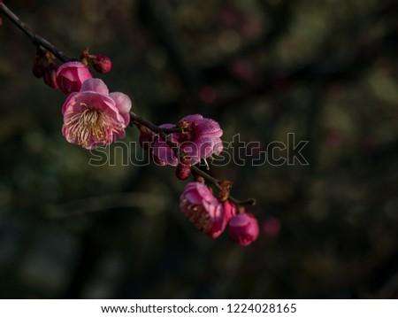 The Plum blossom #1224028165