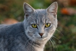 The portrait of gray cat with green eyes in autumn park