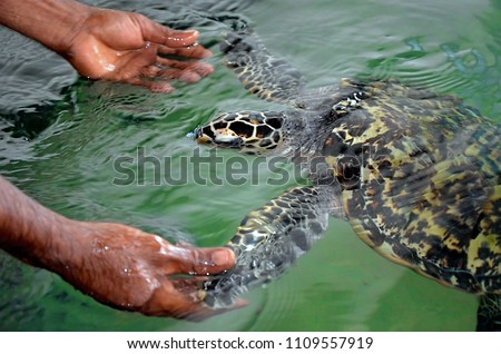 The rescued tortoise holds its flippers with human hands  . Sea Turtles Conservation Research Project in Bentota, Sri Lanka. saving animals, trusting people