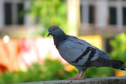 The rock dove, rock pigeon, or common pigeon is a member of the bird family Columbidae. In common usage, this bird is often simply referred.