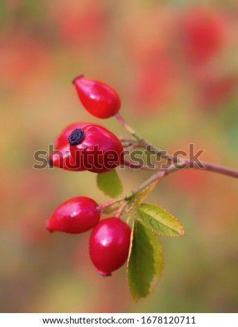 The rose hip or rosehip, also called rose haw and rose hep, is the accessory fruit of the rose plant.  Stock photo ©