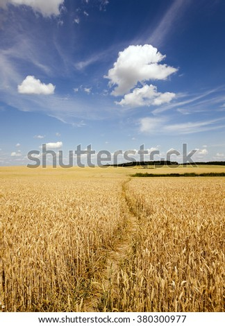 the small trodden footpath in an agricultural field #380300977