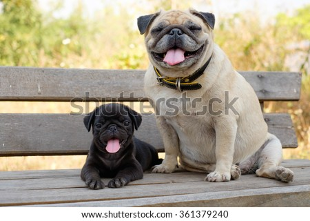 (The Smile of pug dog)The black puppy pug dog lying front female fawn pug on wooden chair.