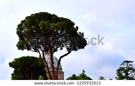 The stone pine, botanical name Pinus pinea, also known as the Italian stone pine, umbrella pine and parasol pine.  #1220932813