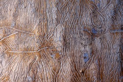 the traces of the bug beetle-typographer. Close-up of tree is eaten by bark beetles. The imprint of the bark beetle under the bark of the tree.