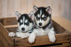 The two little puppies of the huskies sit in the drawer and look out of it.