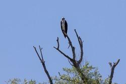 The western osprey (Pandion haliaetus) — also called sea hawk, river hawk and fish hawk .