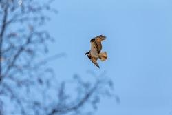 The western osprey (Pandion haliaetus) on flight.Osprey also called sea hawk, river hawk, and fish hawk