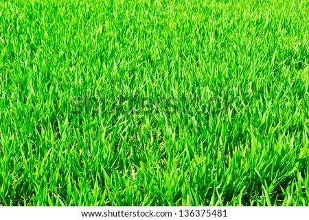 """The young shoots of grain crops or grass"""