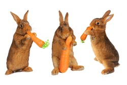 thee rabbit with carrot in paws ���®n a white background