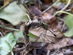 Thee Slender skimmer Gree marsh hawk, is a species of dragonfly in the family Libellulidae