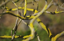 Thin undulating criss-crossed branches of a bush covered with green lichen, natural macro abstract floral background