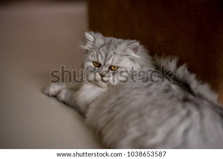 This Persian cat is sleeping, watching things around him. #1038653587