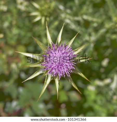 thistle purple flower, natural background - stock photo