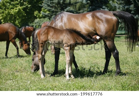 Thoroughbred mare and foal breastfeeding in the field. Breastfeeding colt in summertime pasture  Foal with a mare on a summer pasture.Mare and her foal in meadow