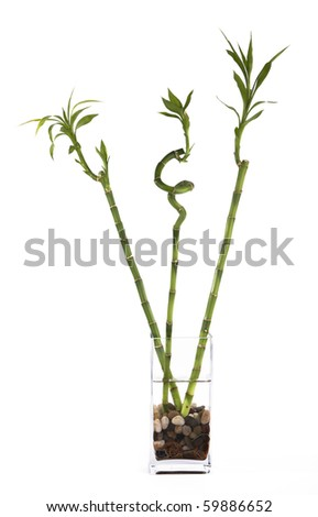 Three bamboos in vase - stock photo