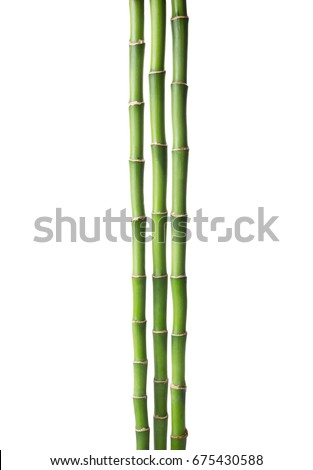 Three branches  of  Bamboo isolated on white background.  Sander's Dracaena.