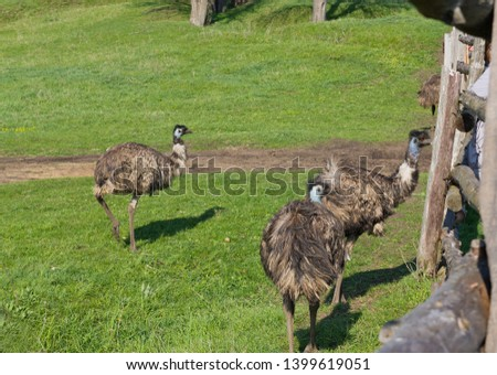 Three Emus in a meadow.