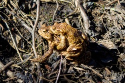 Toad reproduction in the wild, frog couple, love of toads, cold-blooded life
