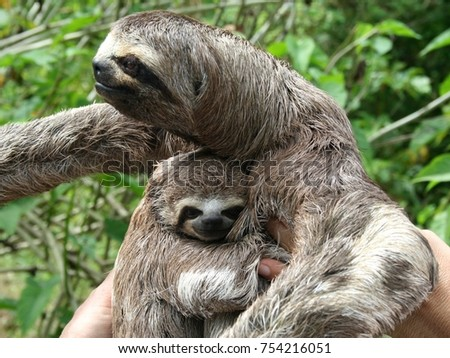 3 toed sloth with baby, Amazon, Peru (close crop)