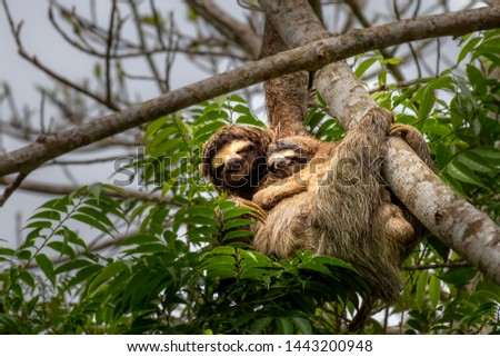 3 toed sloth with baby climbing a tree
