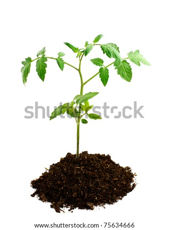 tomato seedling in earth on white