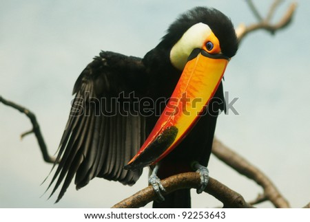 Toucan bird closeup