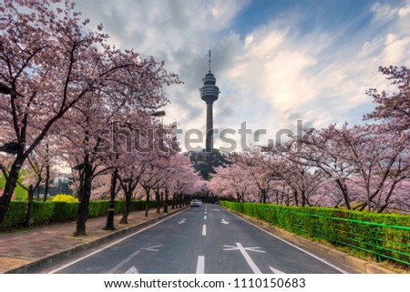83 Tower is a landmark of Daegu city and cherry blossom tree during the spring season this area is popular sakura spot at in Daegu city South Korea.