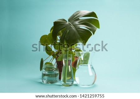 3 transparent glass vases filled with water and a branch of monstera deliciosa inside in front of a potted pilea peperomioide plant on a turquoise background. Play of light and transparency. Minimal