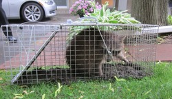 Trapped Raccoon in No Kill Cage Urban Wildlife