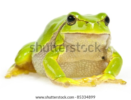 tree frog sitting - isolated on white background