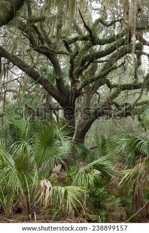 Trees covered with Spanish Moss, from Cumberland Island, Georgia, Southeast USA