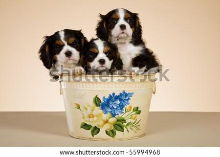 3 Tricolour Cavalier King Charles spaniel puppies sitting inside bin on beige background