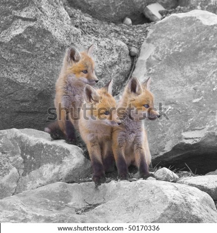 """""""Triple Trouble""""â?? A possible adventure grabs the attention of three red fox kits in their front yard in the Rocky Mountains of Colorado. """""""