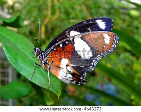 Tropical butterfly sitting on the leaf
