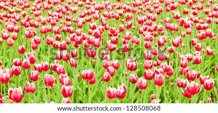 tulips field in spring time