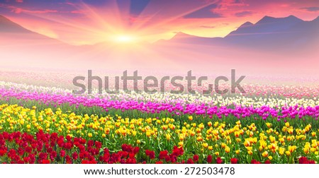 Stock Photo  tulips of different breeds on the backdrop of scenic wilderness after rain misty morning among bright spring greens in the mountains in the warm golden rays of sunrise sun-natural beauty of the Earth