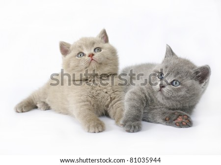 Two  British kittens on white background