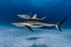 Two Caribbean reef sharks (Carcharhinus perezi) swimming over the reef